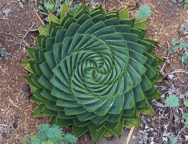 Fotos de plantas geométricas para los amantes de la simetría